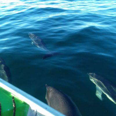 Golfinhos nadam ao lado dos barcos de apoio